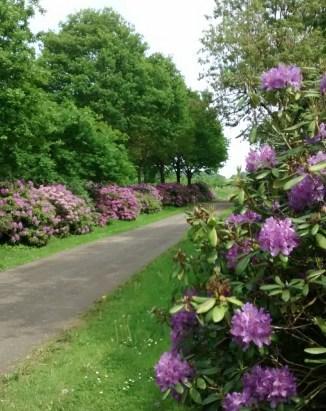 Der Rhododendron sagt: Willkommen Frühling, willkommen zu Hause