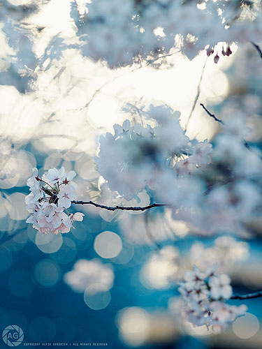 Late afternoon light on the sakura: Tokyo