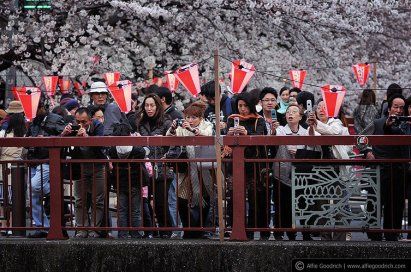 The crowds mass for hanami; Tokyo