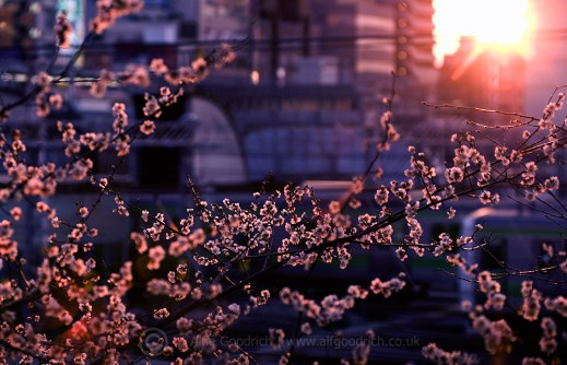 blossom_oimachieki_001