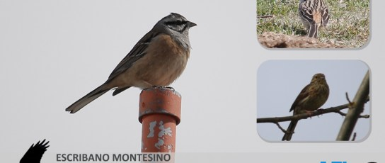 NaturAFI: Escribano Montesino