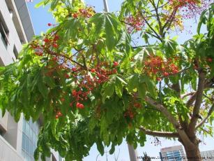 Brachychiton acerifolium