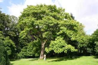 Paulownia tomentosa - Porte