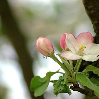 Apfelblüten in pastell