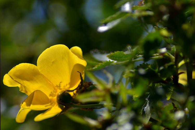 Rosarium Sangerhausen - Gelb und sonnendurchleuchtet