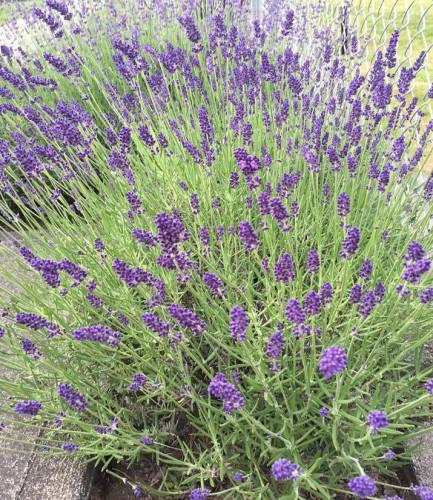 lavender2015