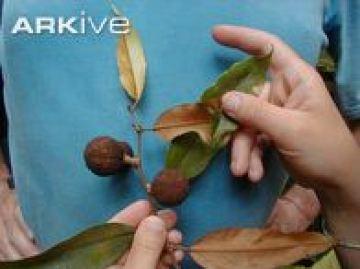 olum feuilles