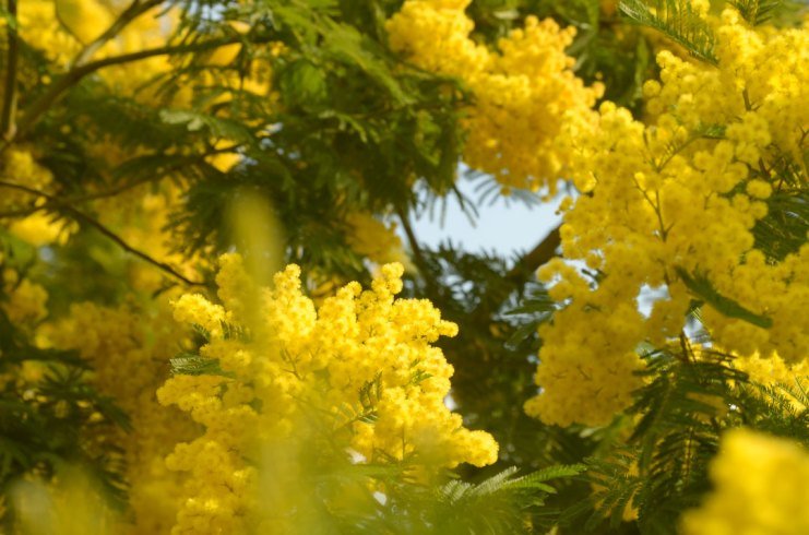 Mimosa floraison
