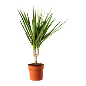Marginata or Dragon tree
