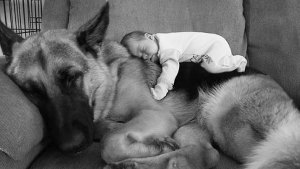 Introducing dogs to baby