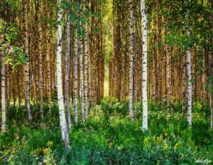 Birch Forest (summer)