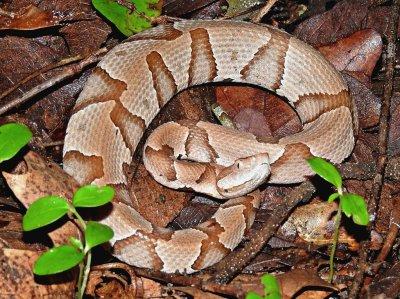 Envenomations: Initial Management of Common US Snakebites