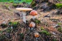 mushroom poisoning amanita muscaria