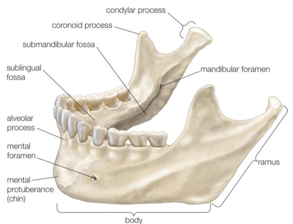 Mandibular Anatomy