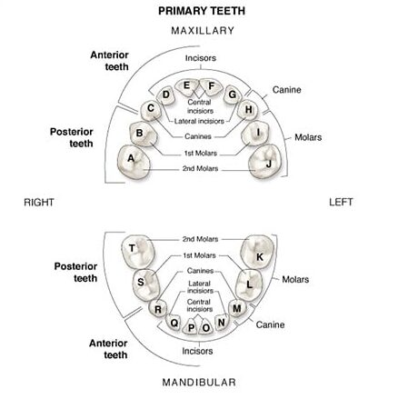 Primary Dentition Teeth Named and Numbered