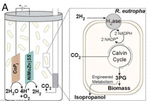 Researchers have designed a leaf that uses solar energy to produce oxygen and hydrogen. This hydrogen is fed to a bacterium called Ralstonia eutropha. An enzyme takes the hydrogen back to protons and electrons and combines them with carbon dioxide. This is then engineered to make isopropanol.