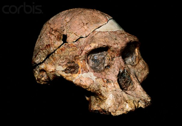 Fossil Skull of Australopithecus africanus