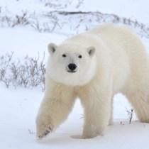 Walking With Giants: Meeting the Churchill Polar Bears