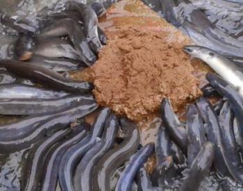 Cara Budidaya Ikan Sidat di Kolam Terpal itu Mudah Kok!