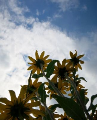 black-eyed susan sky