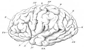 insan beyni Beyin Üzerine Son Kuramlar Beyin Üzerine Son Kuramlar Nedir? insan beyni 300x177