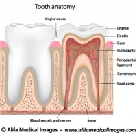 tooth Archives  Medical Information Illustrated