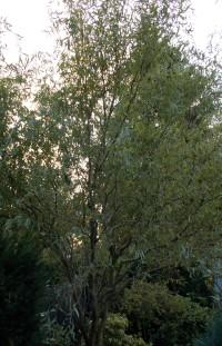Hohe Bäume - Einsatz für einen Hochentaster