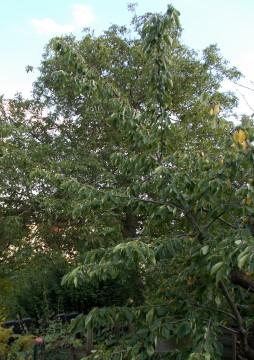 Hoher Baum zum beschneiden mit dem Hochentaster