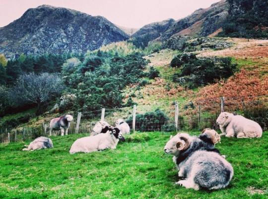 Lake District, England, United Kingdom, Cumbria, Sheep