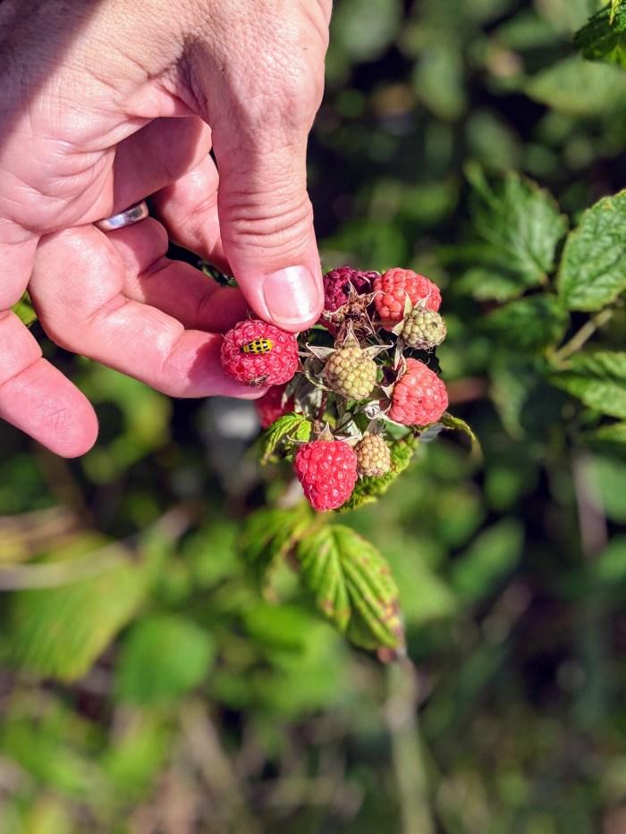buggy berries