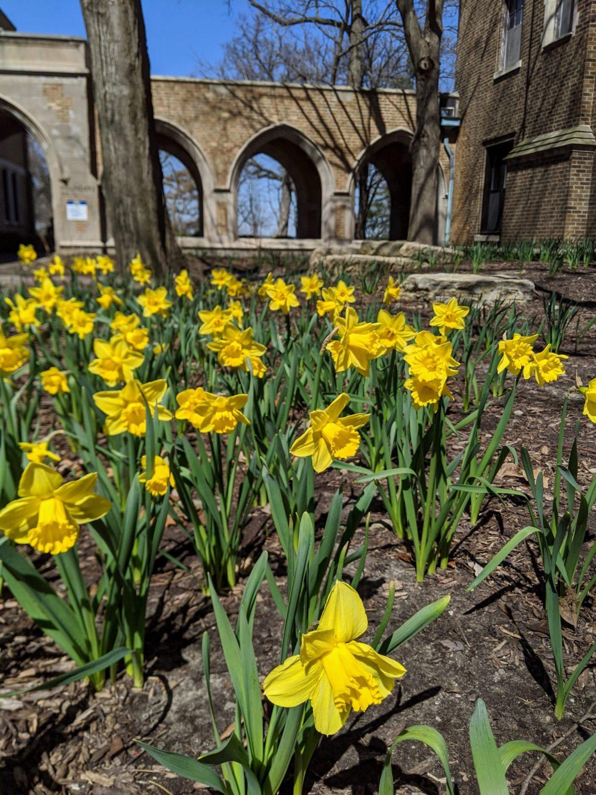 Daffodils at Augustana