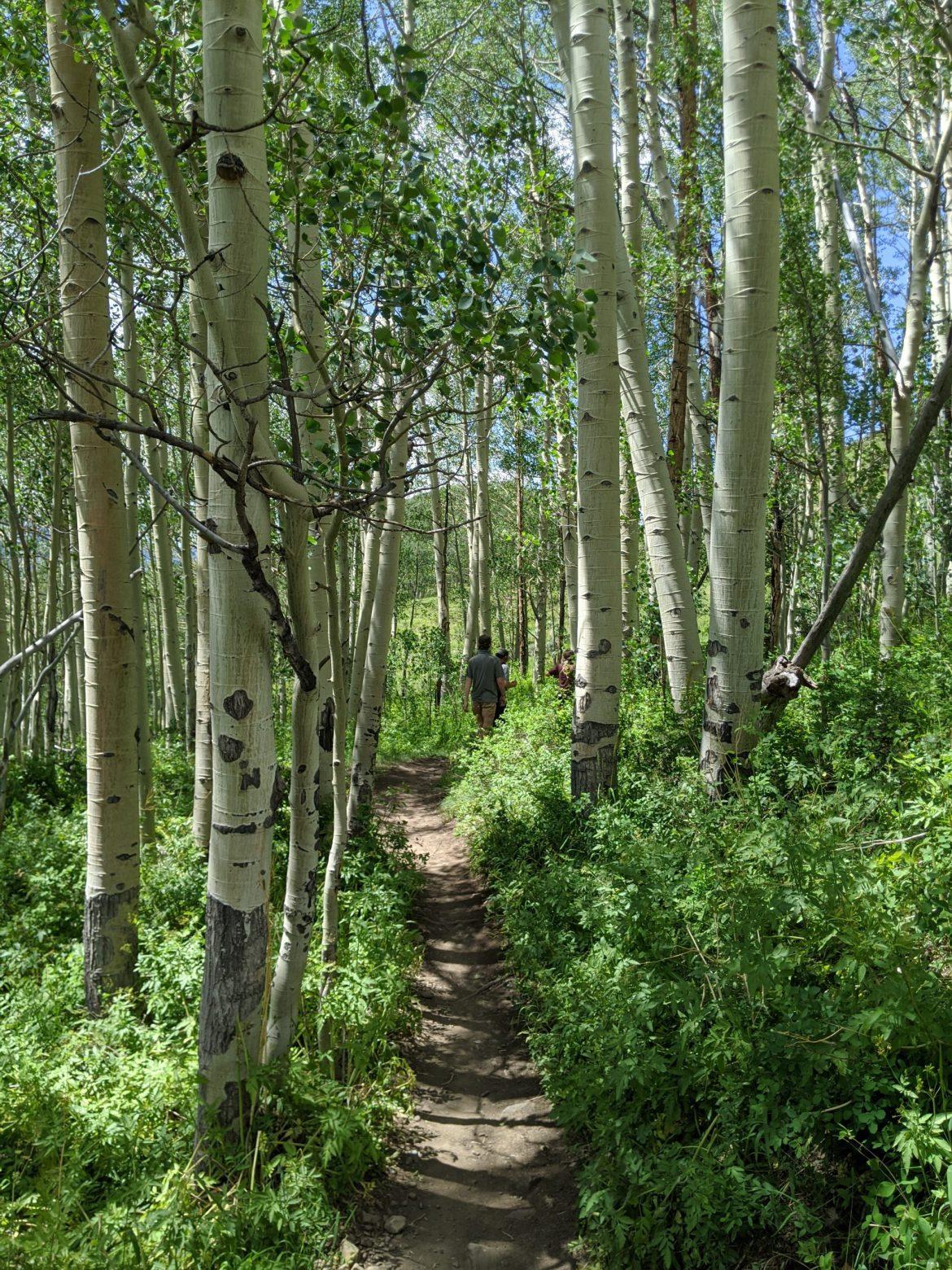 Aspen Grove near Crested Butte
