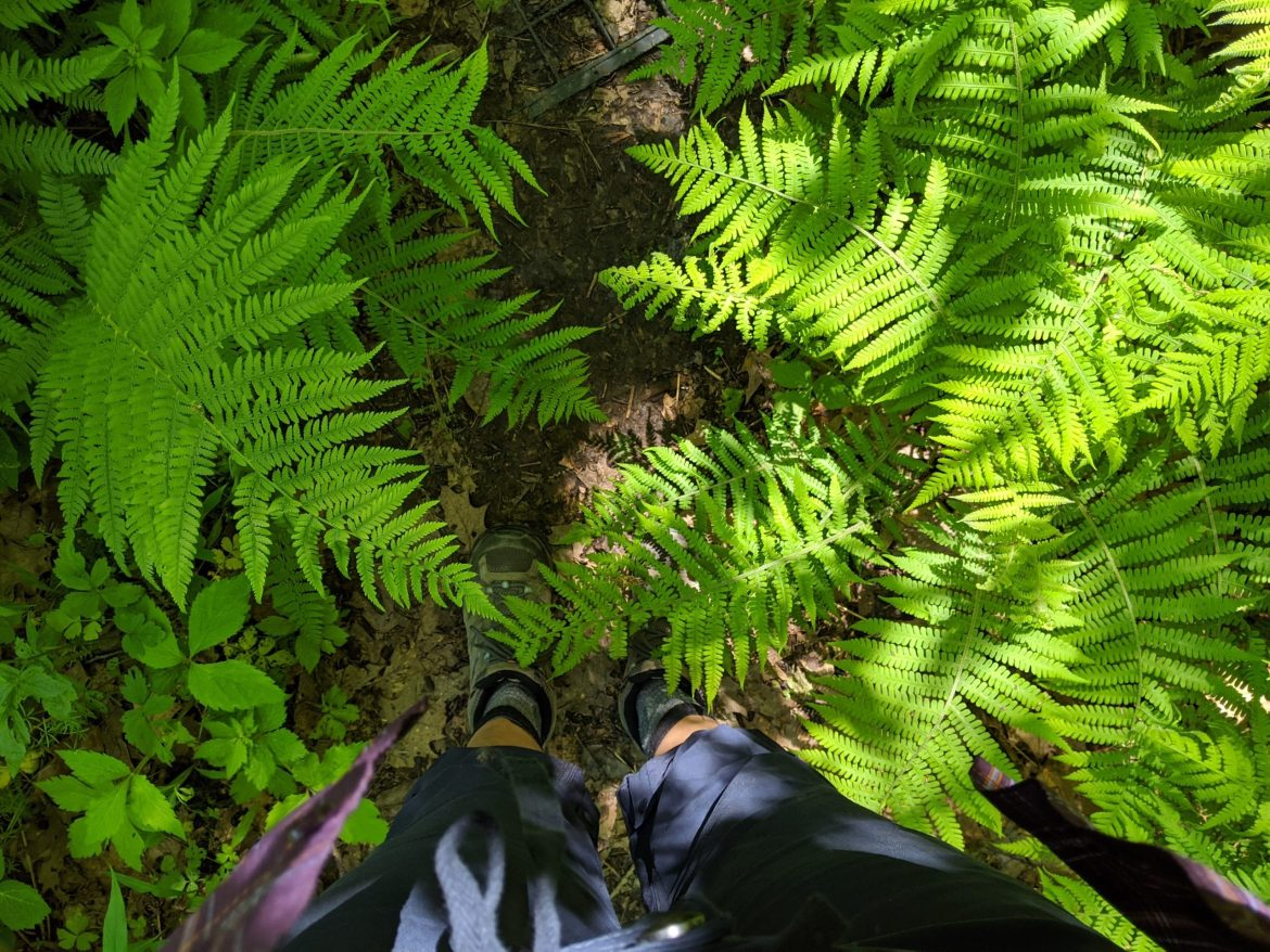 Ferns in the MS Palisades