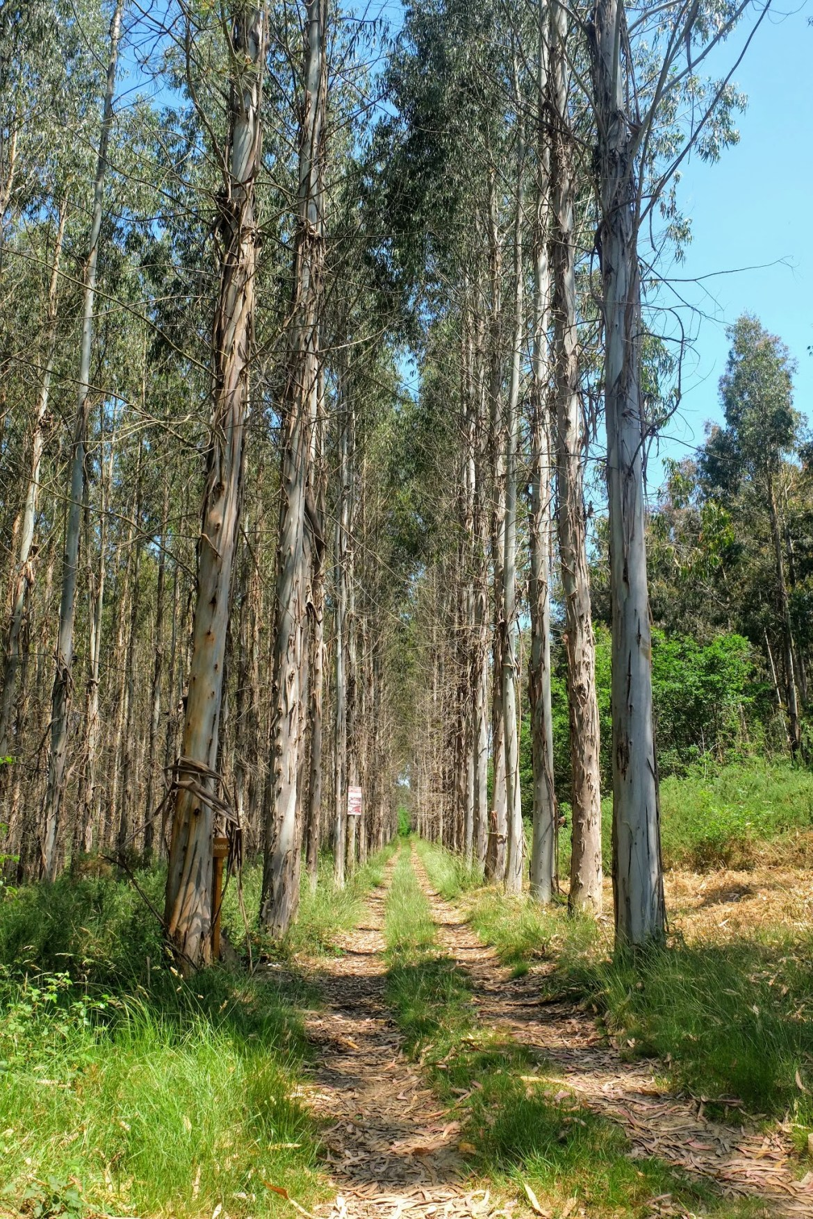 Eucalyptus Trees along the Camino in Spain, lost my smell from covid