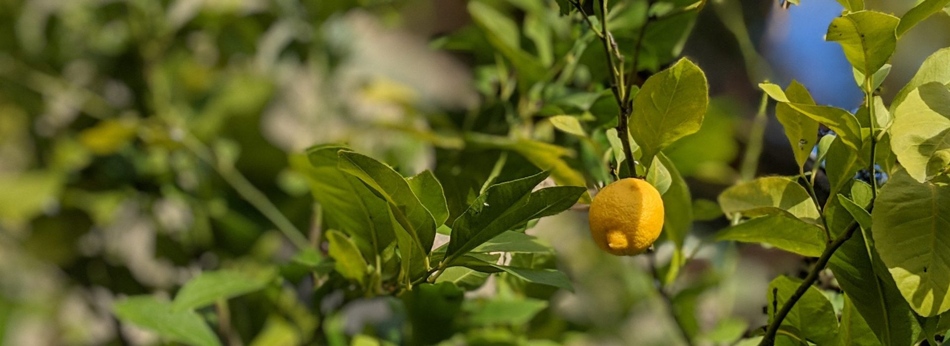Lemon Trees in Tuscany