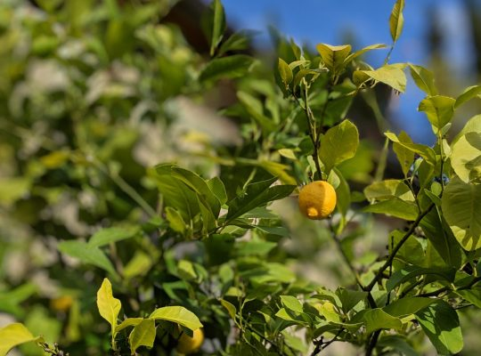 Lemon Trees in Tuscany