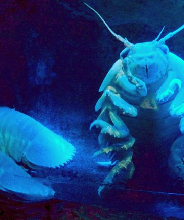 giant sea cockroach