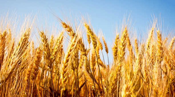 Winnipeg Dietitians Why are we waging a war on wheat?