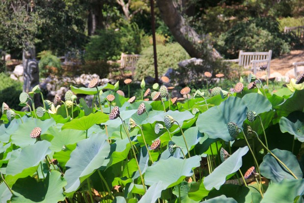Lotus Pods in Huntington Library