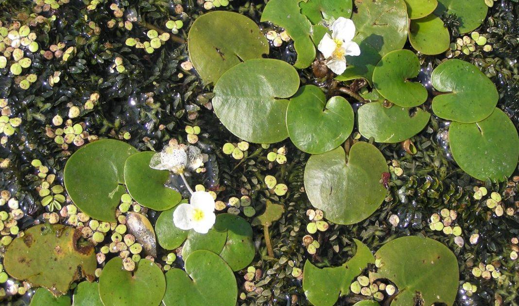 La Hydrocharis laevigata. Royal Botanic Gardens Kew