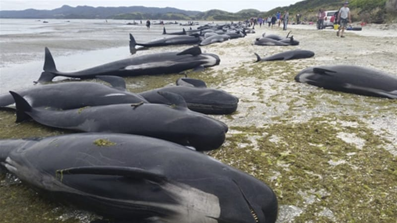 New Zealand has one of the highest rates of whale strandings in the world [EPA]