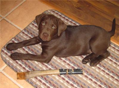 Chocolate Lab Puppy Pictures All About Labradors