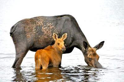 Mama And Baby Moose