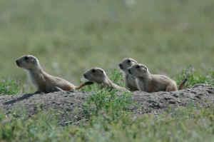 prairie dogs prairie poison
