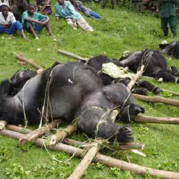 Image result for gorillas bushmeat