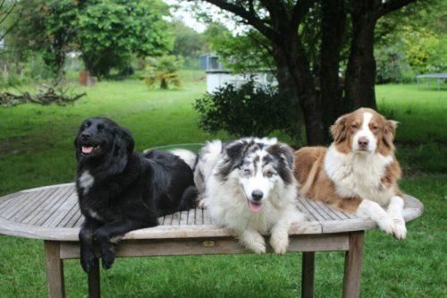 Les chiennes Berger Australien de la maison