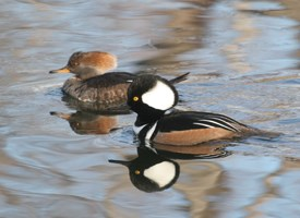 Hooded Merganser Photo