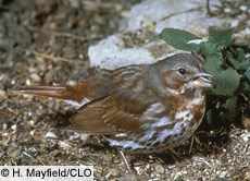 Fox Sparrow Photo
