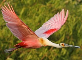 Roseate Spoonbill Photo