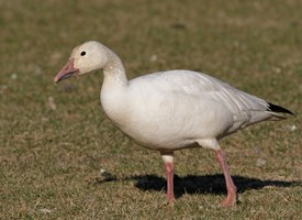 Snow Goose Photo
